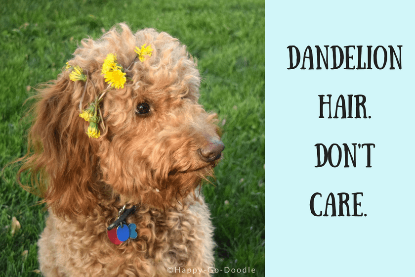 Red goldendoodle dog with yellow dandelions in hair