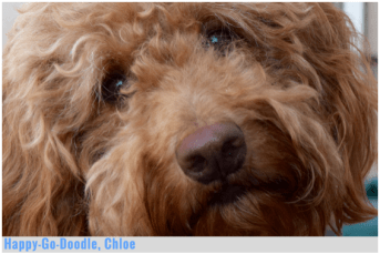 Close-up of red goldendoodle dog's face, Happy-Go-Doodle brand