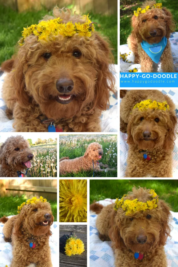 Collage of red goldendoodle dog wearing dandelion crowns