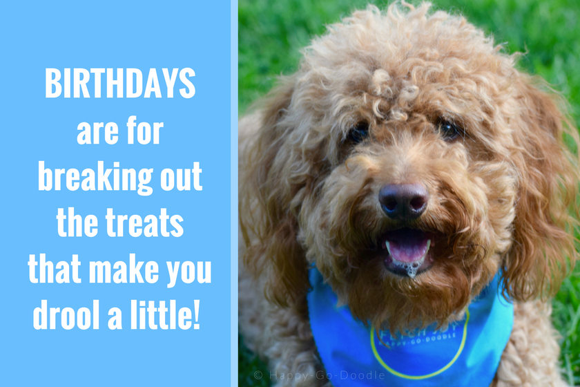 "Red goldendoodle dog wearing blue dog bandana and birthday quote ""Birthdays are for breaking out the treats that make you drool a little."""