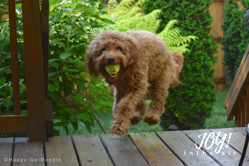 Happy-Go-Doodle, a red goldendoodle dog, is airborne above the wooden deck and holds a yellow tennis ball in mouth with the word joy on it. Lush green foliage in background