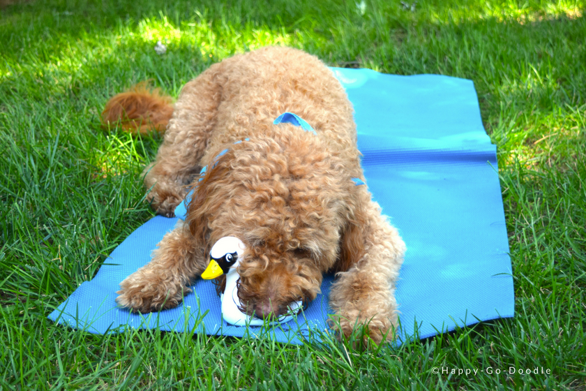 Red goldendoodle dog loving her white swan squeaky toy while lying on a blue mat in the green grass
