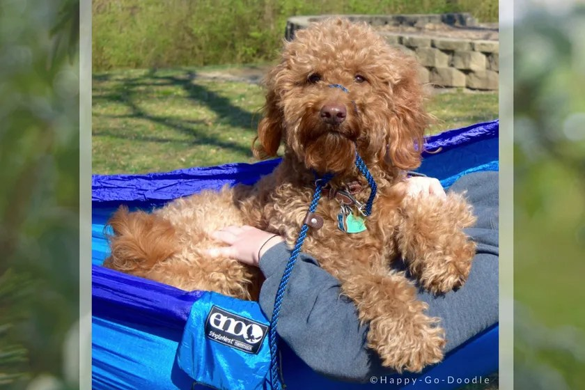Red goldendoodle dog relaxing in blue hammock while parent's hands holding her
