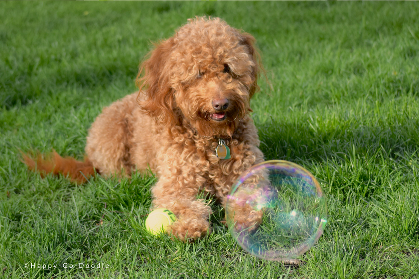 Red goldendoodle dog curiously looking at a large bubble as she lays on the green grass