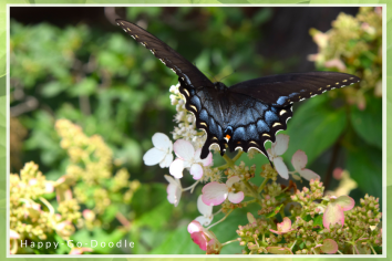 A tiger swallowtail butterfly with wings gently arched as it gets ready to fly away from the pinky winky hydrangea bush it sits on