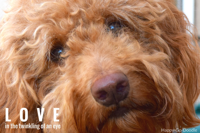 Through sweet looks and expressions dogs show their love. Red goldendoodle's face with sweet expression and words love...in the twinkling of an eye