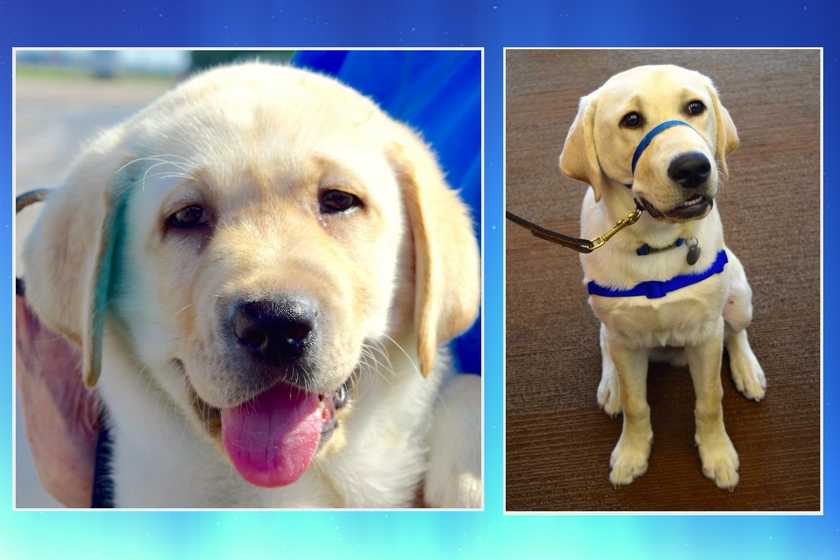 Yellow Labrador retriever puppy's face with tongue hanging out of mouth and second photo showing same puppy a few months older sitting patiently