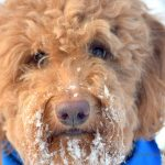 Red goldendoodle dog's snowy face