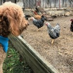 Kansas City area's Red Barn Farm includes farm animals. Red goldendoodle dog is looking at rooster