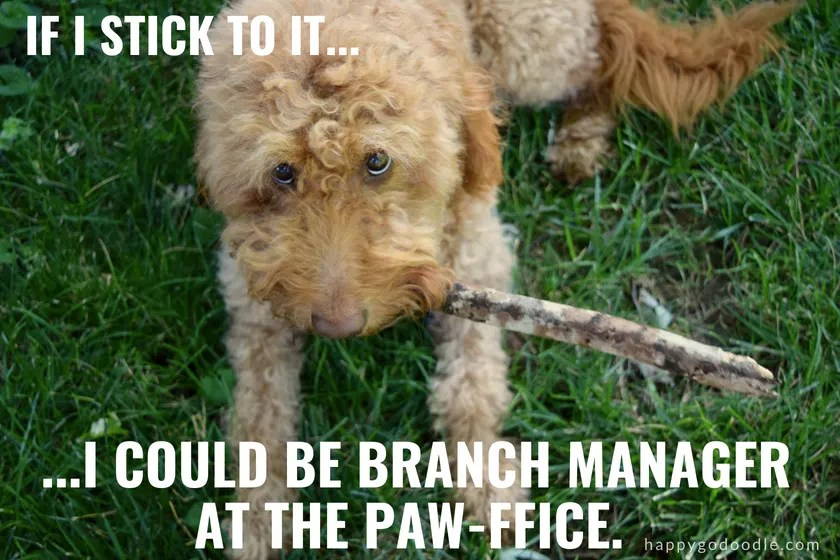 goldendoodle dog with stick and caption If I stick to it, I could be branch manager at the paw-ffice as an example of dog puns