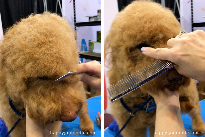 red goldendoodle dog being groomed and groomer pointing to the dog's eye to show how to trim a goldendoodle's face