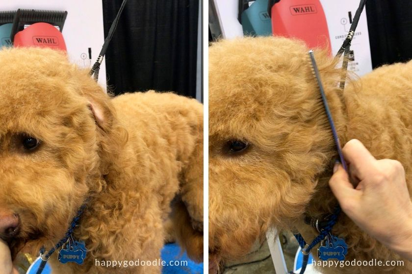 groomer showing how to trim a goldendoodle face by combing hair by ear