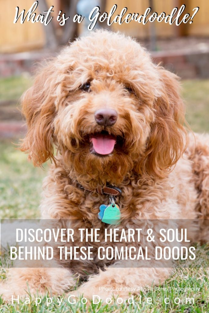 photo of red goldendoodle and title what is a goldendoodle discover the loveable doodle
