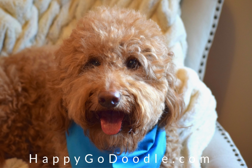 red goldendoodle dog and red dog name image