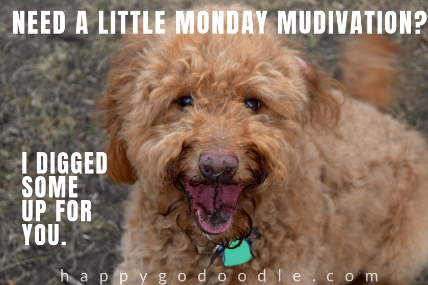 dog pun meme and Goldendoodle's muddy face