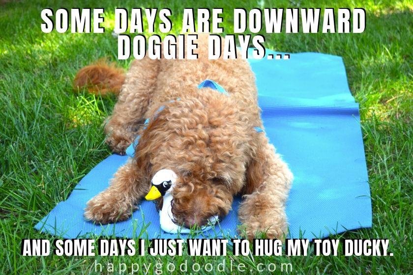 cute dog meme and Goldendoodle lying on yoga mat with toy picture