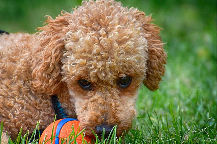 image of curly red dog face