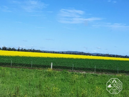 canola fields NSW