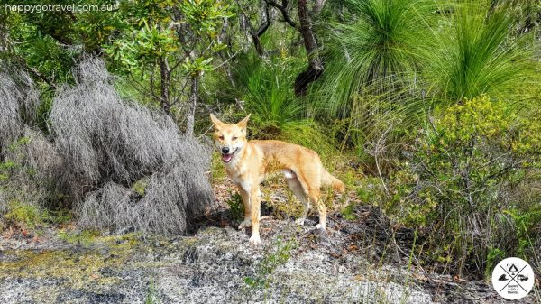 Fraser Island dingoes standing in bush