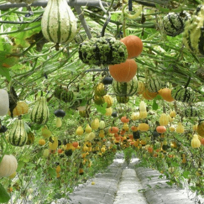 Pumpkins, Pumpkins, Pumpkins!