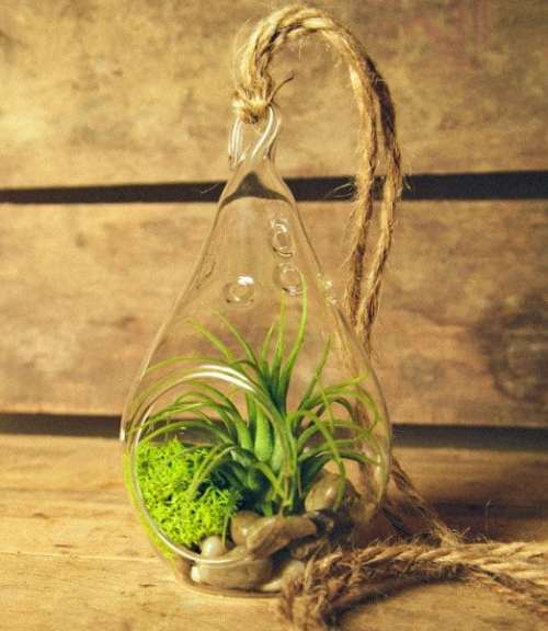 mother's day air plant