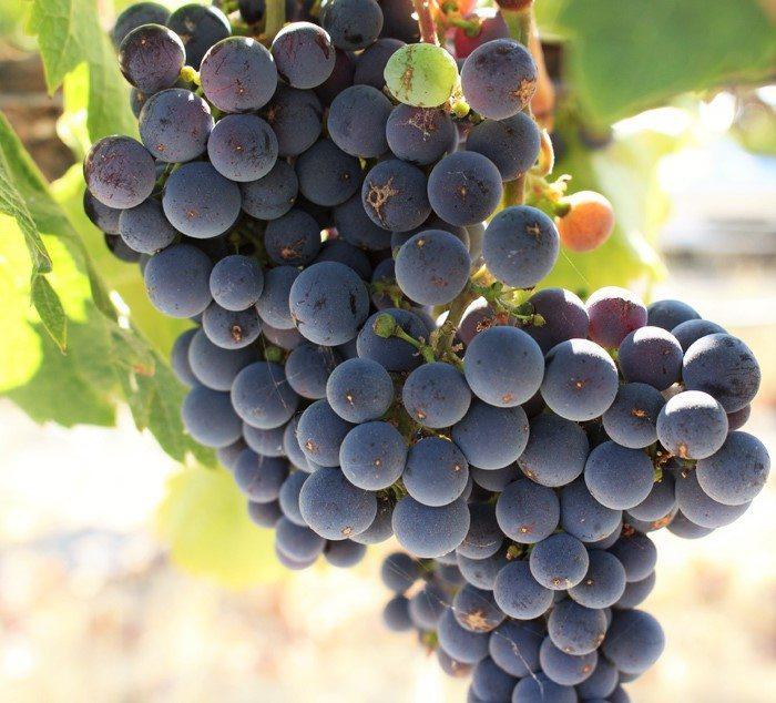 wente vineyards grape close up