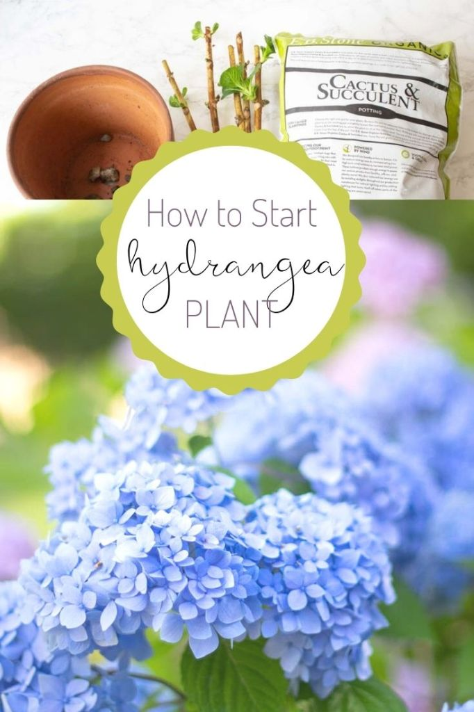 how to start a hydrangea plant pin