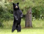 Bear Sighting in Our Backyard