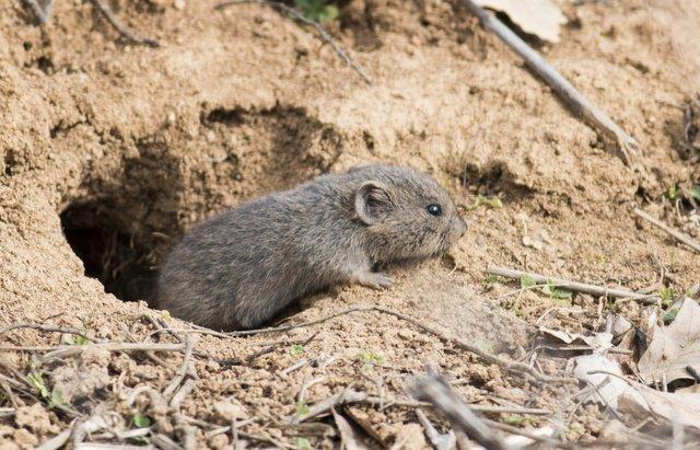 get-rid-of-voles