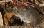 How to Get Rid of Voles Living in Your Yard and Garden