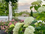How to Care for Annabelle Hydrangeas and Avoid the Drooping Effect
