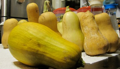 Butternut Squash & 1 bizarre, tall Pumpkin up front. My assortment of stored water jugs to weather the storm in the back.