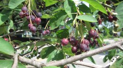 Ripe serviceberry bunches