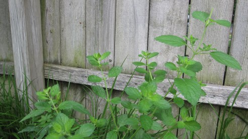 Lemon balm in the garden
