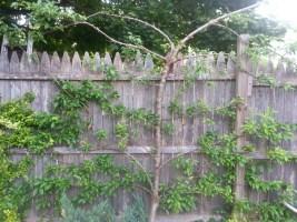 Espaliered Plum tree