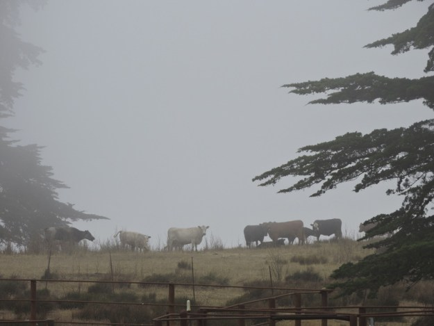 Cattle in the fog along Coleman Valley Road