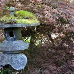Japanese maple in the Japanese Garden