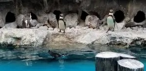 Top Brookfield Zoo Tips for families visiting this fun Chicago Attraction. Learn all the things to do while visiting including where to eat, park and activities, Plus special Events like Brookfield Zoo Summer Nights, Boo at the Zoo and Zoo Lights. #familytravel, #brookfieldzoo, #zoo, #chicagoattraction