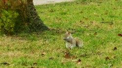 Londres - Kensington Gardens - Ecureuil8