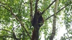 panda-roux-lyon2