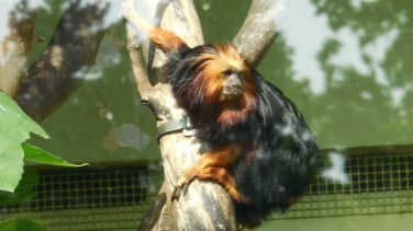 tamarin-lion-doré-lyon