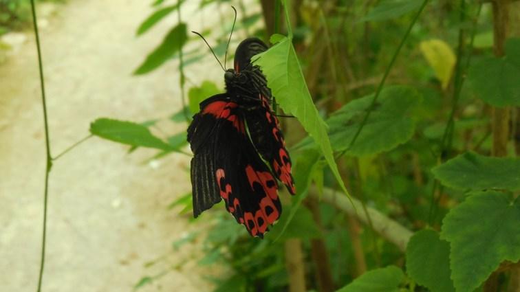 papillon_magnifique_ariege