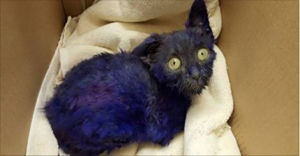 Kitten Dyed in Purple Rescued in South Bay After Living as a Live Chew Toy