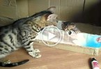 Cute Bengal Cat Mom Talking To Her Sweet Tiny Kitty.