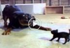 Brave Tiny Kitty AGAINST Big Dog.... AMAZING..