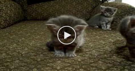Tiny asian kitty