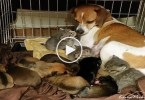 Careful Dog Fostering Orphaned Adorable Kittens. This is PRICELESS...