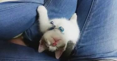 Little Sweet Kitty Falls Asleep Looking Up At His Human