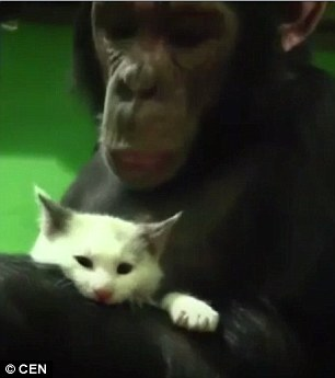 "Chimpanzee Adopts "" Ugly"" Kitten, Rejected By Zoo Employees"
