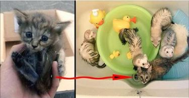 Little Poor Kitty Was Adopted By 5 Ferrets. Now he is one of them. AWWW. So CUTE